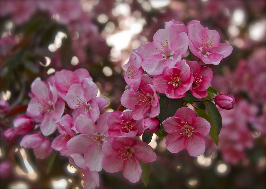 """""""Cherry Blossom""""<br /> <br /> <br /> <br /> In the cherry blossom's shade<br /> there's no such thing<br /> as a stranger.~Issa~ edit"""