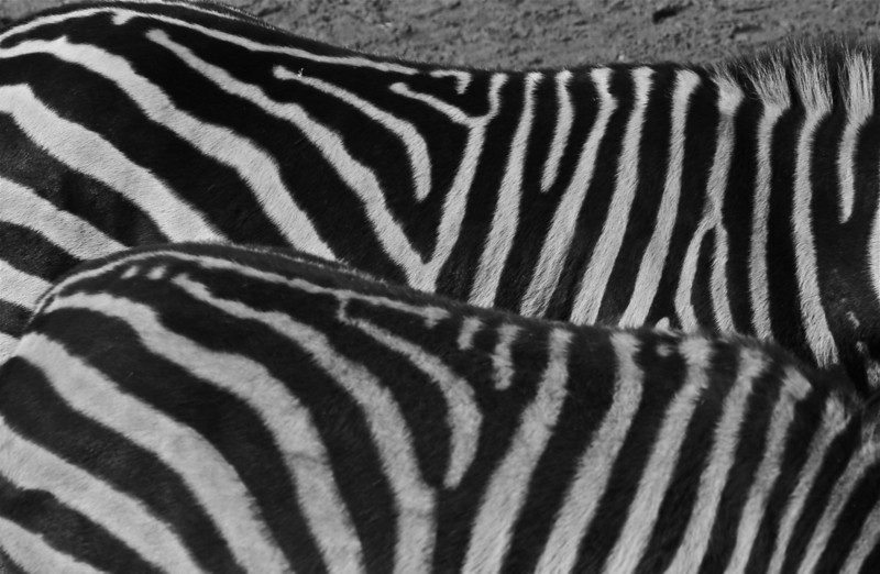 """Zebra Crossing""<br /> <br /> <br /> <br /> ""You had to drive through the cows and sheep to get to the zebras.""~Rod Weeks~"