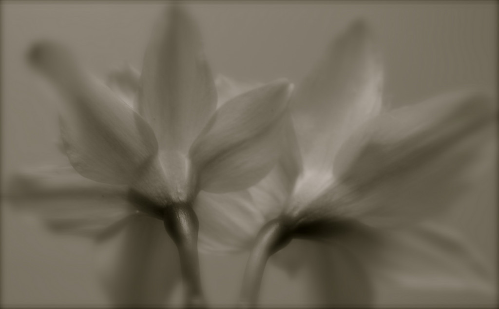 """Moody Daffodils""<br /> <br /> <br /> ""Nothing helps a bad mood like spreading it around.""~ Bill Watterson~"