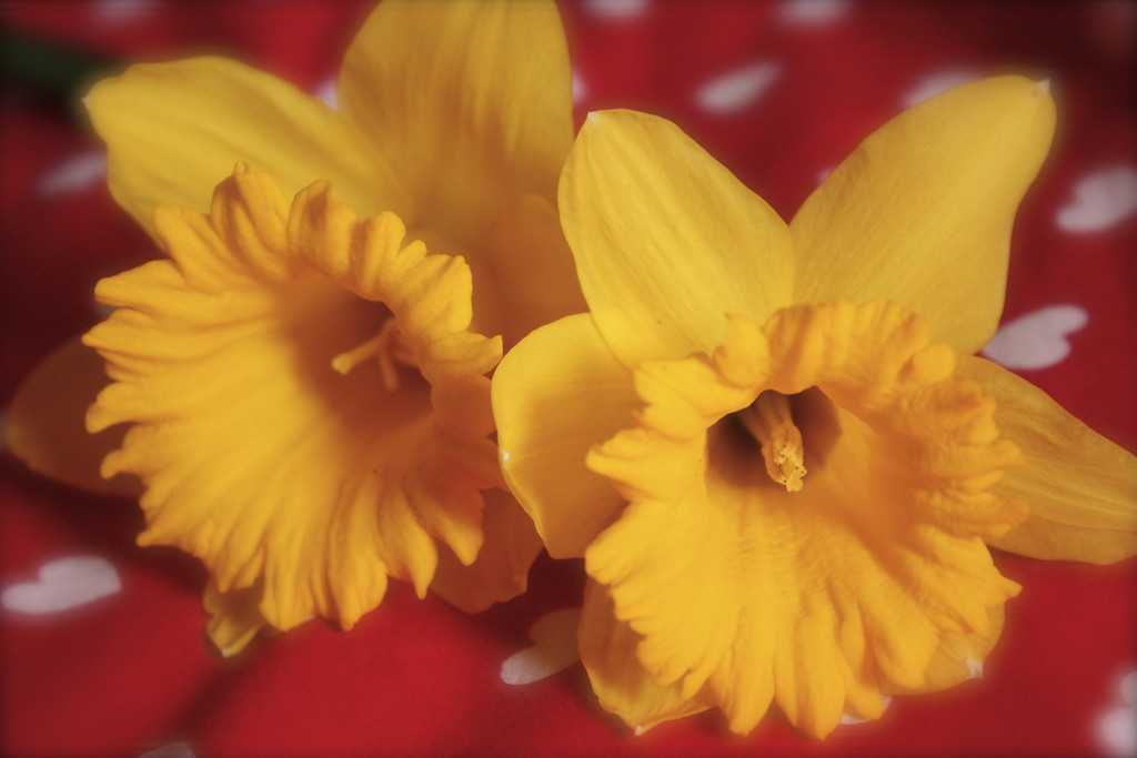 """Daffodils Time""<br /> <br /> <br /> <br /> It is daffodil time, so the robins all cry, For the sun's a big daffodil up in the sky, And when down the midnight the owl call ""to-whoo""! Why, then the round moon is a daffodil too; Now sheer to the bough-tops the sap starts to climb, So, merry my masters, it's daffodil time. <br /> ~ Clinton Scollard~"