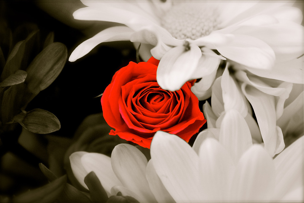 """Special One""<br /> <br /> <br /> <br /> Thank you everyone for your wonderful comments on previous daily.Appreciate it very much :-)<br /> <br /> <br /> <br /> ""A single rose can be my garden...a single friend, my world.""~"