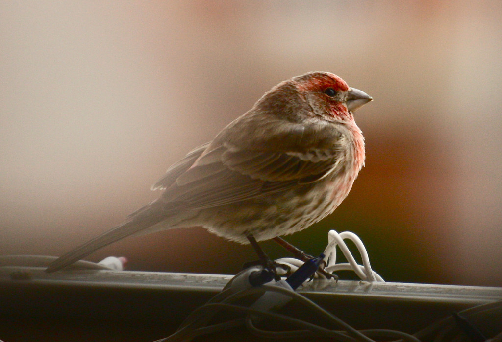 """Braving the winter""<br /> <br /> The house finch takes a short shelter on the porch during a cold windy day ...<br /> <br /> <br /> <br /> ""I love the man that can smile in trouble, that can gather strength from distress, and grow brave by reflection""~ Thomas Paine ~"