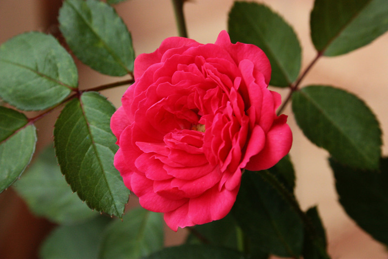 """""""Daily Roses""""<br /> <br /> I am posting roses almost everyday from my garden .Cannot get enough of their beauty !<br /> <br /> <br /> """"A single rose can be my garden...a single friend, my world.""""~Leo F. Buscaglia ~"""