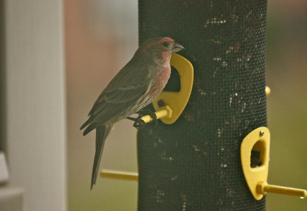"""""""Quite""""<br /> <br /> Did not like the clarity of this shot but loved the bird taking shelter on a rainy day under the bird feeder on  for a while ,till the rain stopped .<br /> <br /> Never be afraid to sit awhile and think.  ~Lorraine Hansberry, A Raisin in the Sun~"""