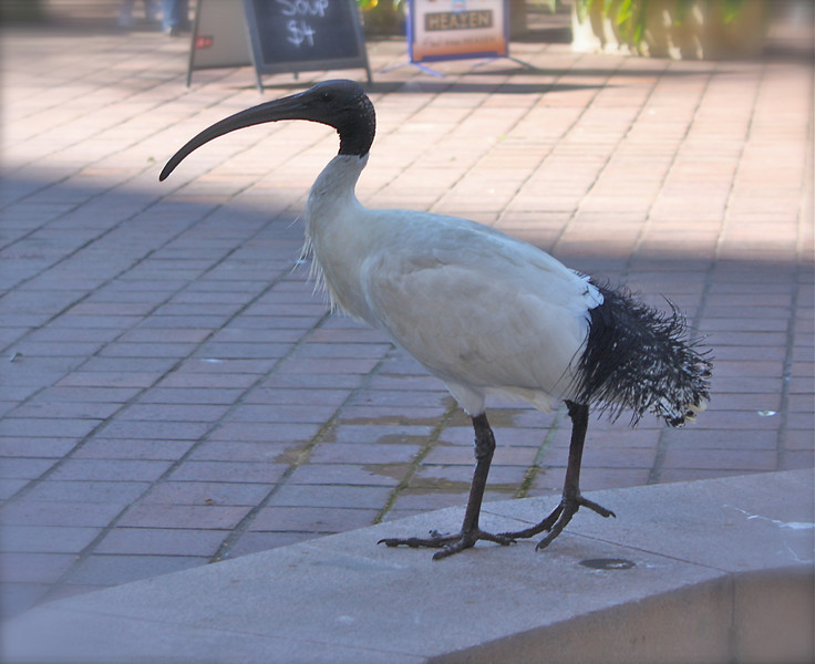 """Australian White Ibis""<br /> <br /> <br /> <br /> There is nothing in which the birds differ more from man than the way in which they can build and yet leave a landscape as it was before.~Robert Lynd~"