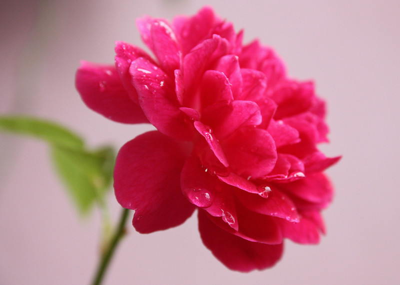 """""""It's Raining Roses""""<br /> <br /> <br /> <br /> <br /> It will never rain roses: when we want to have more roses we must plant more trees.~George Eliot~"""