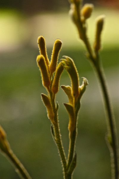 """Kangaroo Paw""<br /> <br /> <br /> <br /> Too much free time is certainly a monkey's paw in disguise. Most people can't handle a structureless life. <br /> ~Doug Coupland ~"