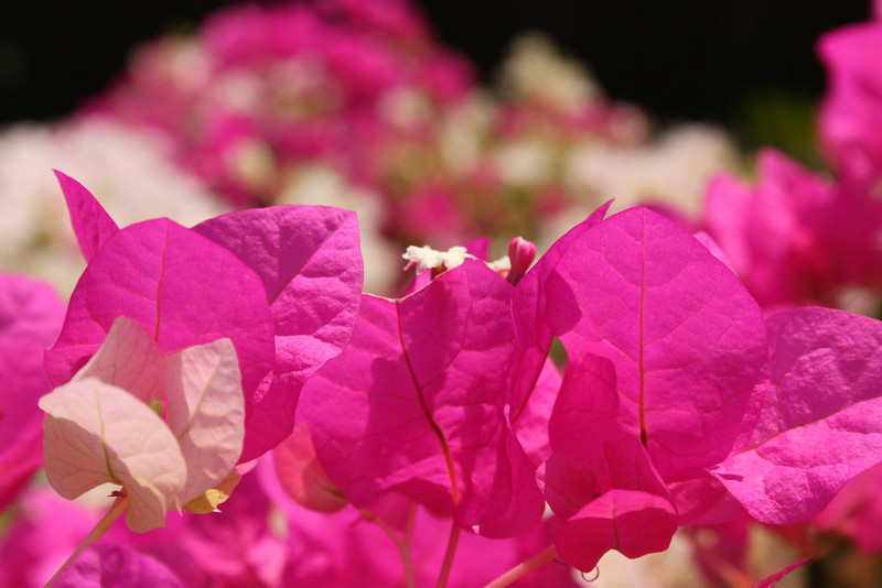 """Pretty in Pink""<br /> <br /> A shot of Bougainvillea flowers- mostly found in warmer parts of the world.<br /> <br /> <br /> I will be the gladdest thing<br /> Under the sun!<br /> I will touch a hundred flowers<br /> And not pick one.<br /> ~Edna St. Vincent Millay, ~"