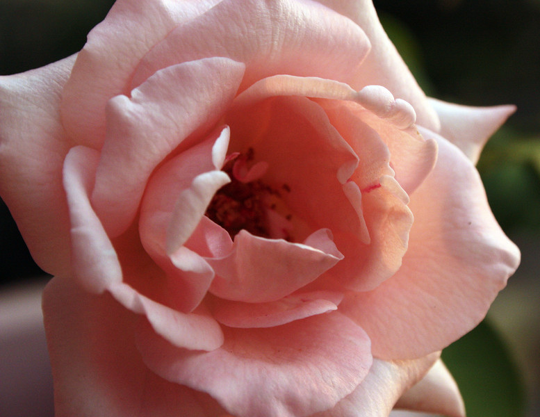 """Evening Rose""<br /> <br /> <br /> <br />  ""Love is much like a wild rose, beautiful and calm, but willing to draw blood in its defense.""~Mark Overby ~"