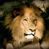 """""""The Lion King""""<br /> I am not afraid of an army of lions led by a sheep; I am afraid of an army of sheep led by a lion.~Alexander the Great"""