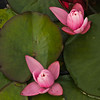 """Buds""<br /> Gather the flowers, but spare the buds.~Andrew Marvell"
