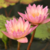 """Pink Beauties""<br /> <br /> Everything has beauty, but not everyone sees it.~Confucius"