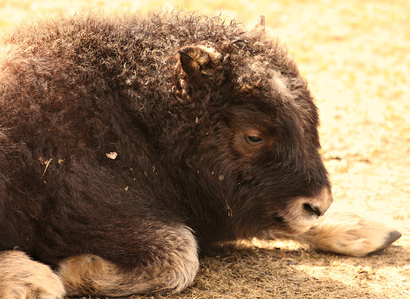"""""""Baby Bison""""<br /> <br /> The beginning of compunction is the beginning of a new life.~George Eliot"""