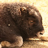 """Baby Bison""<br /> <br /> The beginning of compunction is the beginning of a new life.~George Eliot"