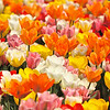 """Tulip Time""<br /> <br /> Life isn't a tiptoe through the tulips.~ Shannon Hoon"