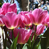 """Tulips""<br /> <br /> Life isn't a tiptoe through the tulips.~ Shannon Hoon"