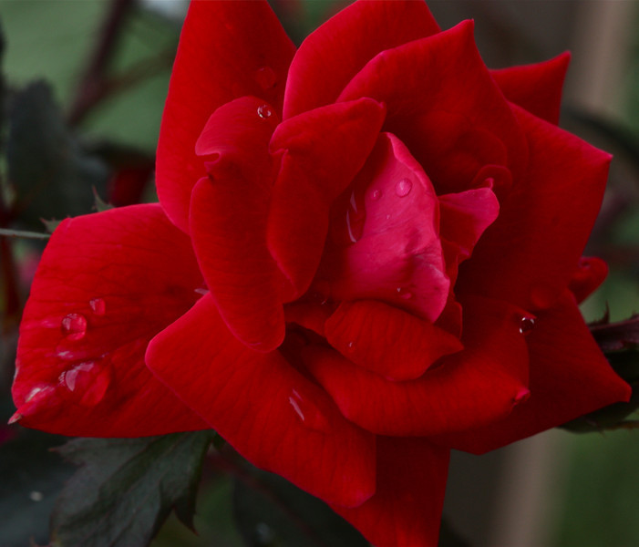 """Roses after rain""<br /> <br /> As you walk down the fairway of life you must smell the roses, for you only get to play one round.~Ben Hogan"
