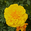"""Marigold""<br /> <br /> <br /> 'Tis my faith that every flower<br /> Enjoys the air it breathes!<br /> ~William Wordsworth"