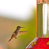 """Hummer""<br /> <br /> Hummingbirds that defend territories of many flowers remember which flowers they have recently emptied.~ Susan Healy"