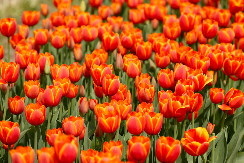 """""""Bed of Tulips""""<br /> <br /> Thank you for  your comments on yesterday's daily.<br /> <br /> The temple bell stops but I still hear the sound coming out of the flowers.  ~Basho"""