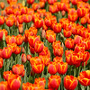 """Bed of Tulips""<br /> <br /> Thank you for  your comments on yesterday's daily.<br /> <br /> The temple bell stops but I still hear the sound coming out of the flowers.  ~Basho"