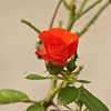 """""""Smell of a Rose""""<br /> <br /> As you walk down the fairway of life you must smell the roses, for you only get to play one round.~Ben Hogan"""