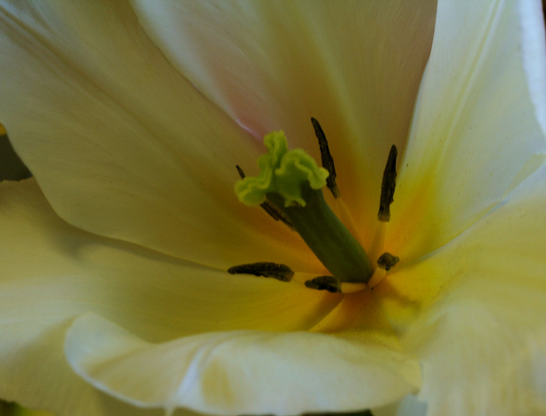 Apr 28/09<br /> <br /> The tulips I bought on the weekend were in full bloom today giving me a signal for a Macro :-)