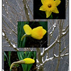 Apr 04/09<br /> <br /> ~Daffodils that come before the swallow dares, and takes the winds of March with beauty ~  William Shakespeare