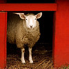 """Framed""<br /> <br /> <br /> ""For he hears the lambs innocent call.<br /> And he hears the ewes tender reply.<br /> He is watchful while they are in peace.<br /> For they know when their Shepherd is nigh.""<br /> ~William Blake~"
