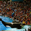 """Shamu""<br /> <br /> More than  a picture this is a shot from my memorable trip to Disney with my family in summer 2005.This picture made me nostalgic when I was surfing some old pictures unexpectedly today.This was an unforgettable show I ever saw !Shamu was absolutely fantastic.I took this shot from my Sony point & shoot at that time.Pictures are always such great memories :-)<br /> <br /> <br /> <br /> <br /> Everybody needs his memories.  They keep the wolf of insignificance from the door.  ~Saul Bellow~"