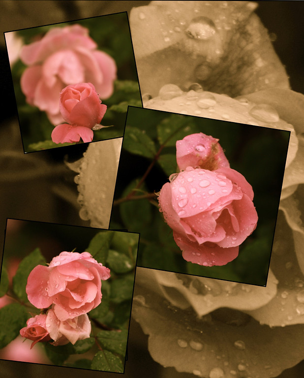"""""""Roses in the rain""""<br /> <br /> <br /> <br /> """"Avoid being impatient. Remember time brings roses."""" <br /> ~Anonymous~"""