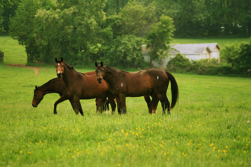 """Counting from front :<br /> 1st horse  - """"Don't you think she is trying to take my picture ?""""<br /> 2nd horse-  """" I think  mine actually !""""<br /> 3rd horse - """"Don't bother,Let me graze !""""<br /> <br /> <br /> <br /> <br /> """" A good resolution is like an old horse, which is often saddled but rarely ridden"""" ~ Mexican Proverb ~"""