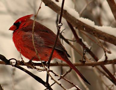 Cardinal shot in my backyard during a snow jan.5 2014