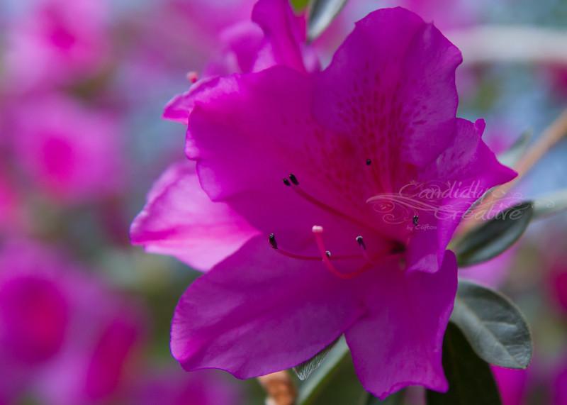 Amazing Azaleas :)