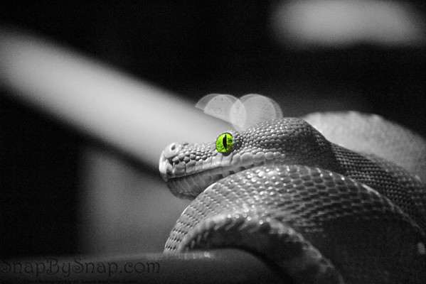 Recently I took a short series of images of some snakes.  The room was exceptional dark and I had to use a high ISO.  The noise in the image was unacceptable however, some post processing made them interesting.  Check out the rest at http://snapbysnap.com/Wildlife/Snakes/11949677_LpQDo#846453715_uUs9Y