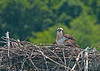 6.5.2011 Osprey on Nest.  Took this one yesterday at Leesylvania State Park. This was taken from our kayak as we slowly drifted by.