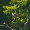 6.6.2011 Heron Landing