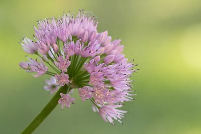 Flower 070 Ornamental Onion