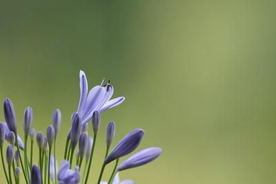 Flower 072 Agapanthus 'Peter Pan'