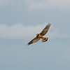 Northern Harrier 030
