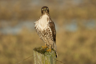 Red Tailed Hawk 012