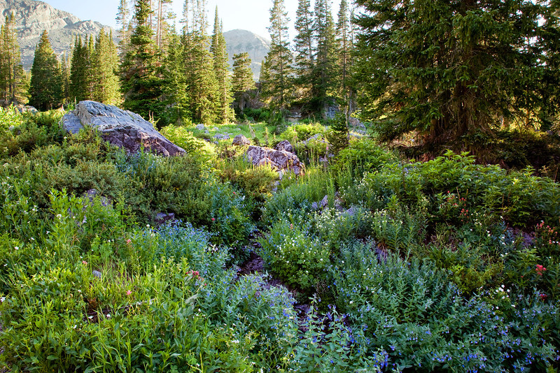 Sohm-0707-5185 v3 Albion Basin Wild Flowers
