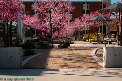 Redbud trees at the U