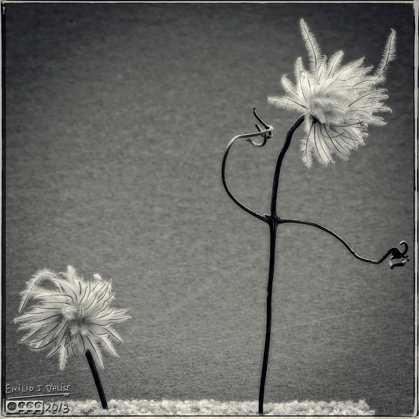 Clematis - onOne Perfect B&W