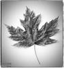 Maple Leaf - onOne Perfect B&W