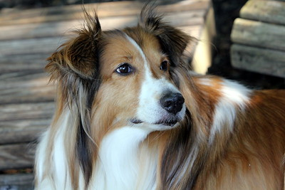 Aug 6 2011 -- BO Sheltie
