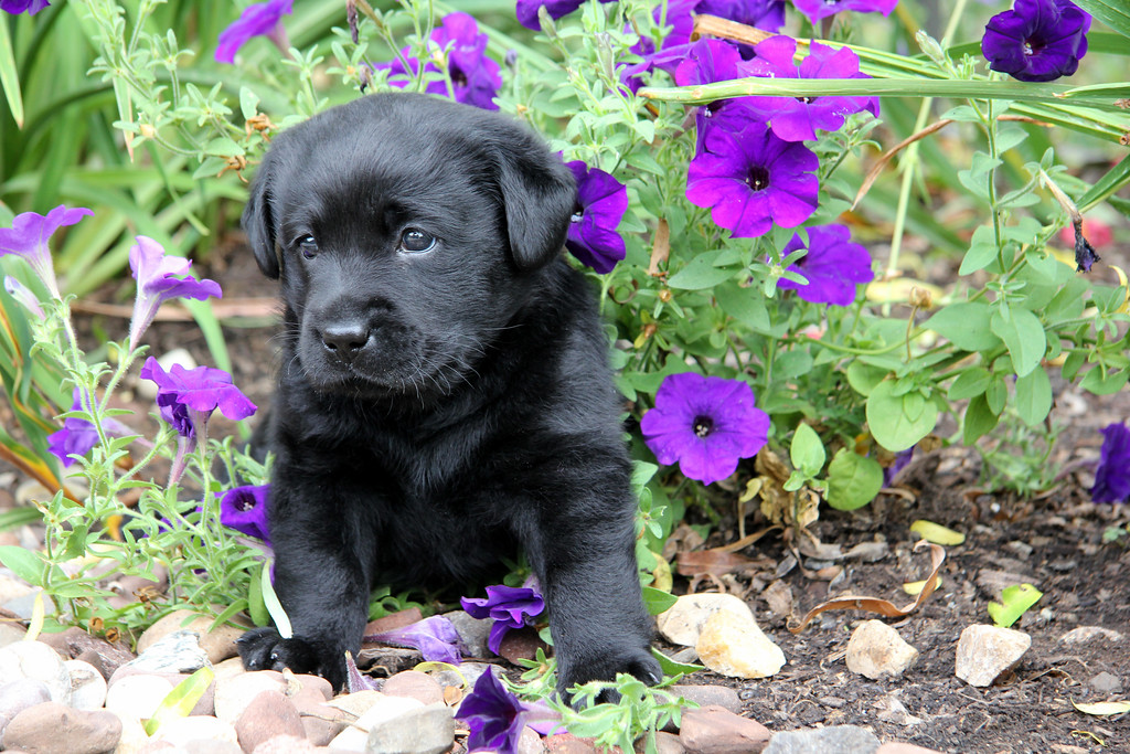 Feb 11 2011 -- PETUNIA PUP<br /> Out of the archives from last summer. <br /> Nothing like a 5 week old Labrador pup and flowers to chase away the winter doldrums. <br /> TGIF!
