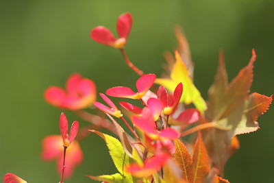 Aug 2 2011 -- RED MAPLE