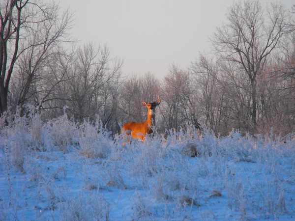 """""""Horrie Frost"""",,, Horrie frost is rare, I saw this buck  on 350 N. ~100E just standing in a field full of frost<br /> <br /> Photographer's Name:  J.R. Rosencrans<br /> Photographer's City and State: Alexandria, IN"""