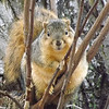 "Alvin !!!! The Christmas Critter,,, Photo taken at ""Little Killbuck Creek"" bottom lands<br /> <br /> Photographer's Name: J.R. Rosencrans<br /> Photographer's City and State: Alexandria, IN"